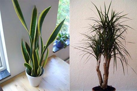 NASA publica espécies de plantas caseiras que purificam o ar da sua casa!