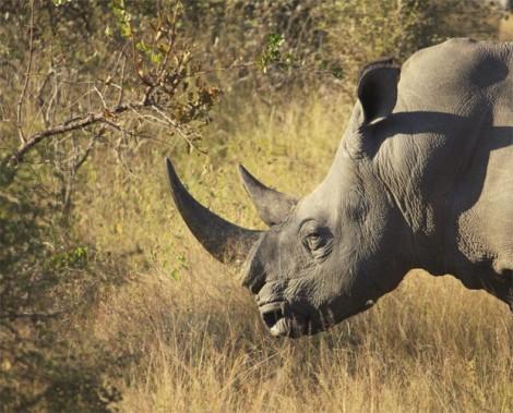 rinoceronte1