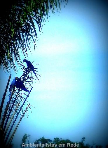 arara-azul1