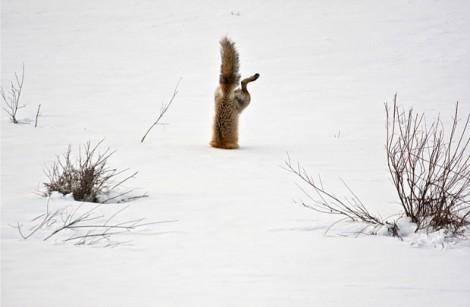 Muitas imagens foram agraciadas com menções honrosas, como esta, de Michael Eastman, retratando uma raposa vermelha e sua caçado por um camundongo na neve (Foto: Michael Eastman/National Geographic Photo Contest)