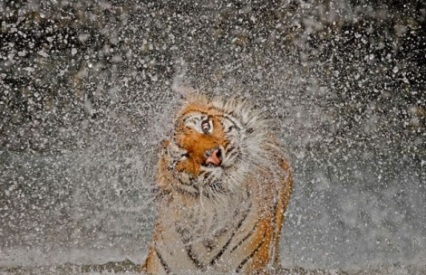 "Um tigre chacoalha-se para se secar no zoológico Khao Kheow, na Tailândia. A foto de Ashley Vincent, de título ""Explosão"", foi a grande vencedora do prêmio neste ano (Foto: Ashley Vincent/National Geographic Photo Contest)"