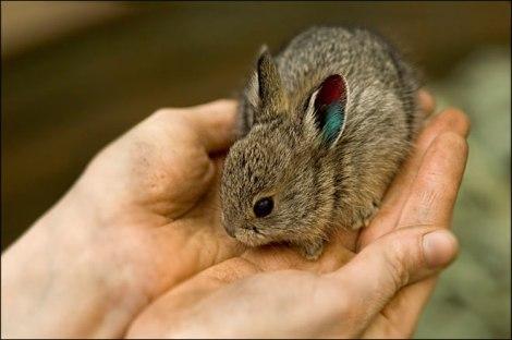 Columbia_Basin_Pygmy_Rabbit[1]
