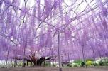 Glicínia - Tochigi, Japão