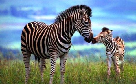 zebra-filhote